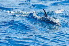 海豚海运游泳 免版税图库摄影
