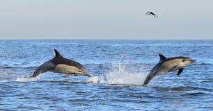 海豚游泳和跳出从水 库存照片