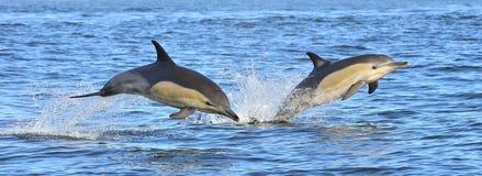 海豚游泳和跳出从水 免版税图库摄影