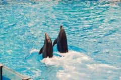 海豚游泳和跳舞夫妇在大海,在Seaworld海豚天显示 免版税库存照片