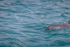 海豚游泳在内在海费尔南多・迪诺罗尼亚群岛的, Pernambuco,巴西 库存图片