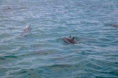 海豚游泳在内在海费尔南多・迪诺罗尼亚群岛的, Pernambuco,巴西 免版税库存图片