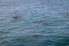 海豚游泳在内在海费尔南多・迪诺罗尼亚群岛的, Pernambuco,巴西 免版税库存照片