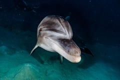 海豚游泳在红海 库存图片