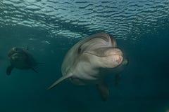 海豚游泳在红海 免版税图库摄影