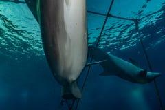 海豚游泳在红海 库存照片