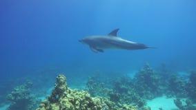 海豚游泳临近潜水者 影视素材
