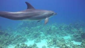 海豚游泳临近潜水者 股票视频