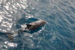 海豚游泳 库存图片