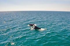 海豚演奏和伴随游艇 库存图片