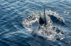 海豚潜水在显示飞翅的蓝色海洋水中 库存照片