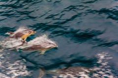 海豚群伴随船 免版税库存照片