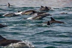 海豚跳跃在海洋之外的巨大的小组 库存图片