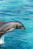海豚跳跃 图库摄影