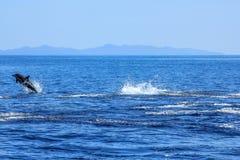 海豚跳跃 免版税库存图片