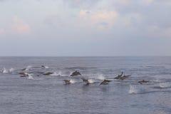 海豚追求鱼群在日落 库存照片
