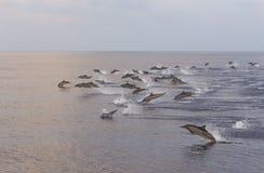 海豚追求鱼群在日落 免版税库存图片