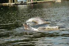海豚飞溅 免版税图库摄影