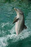 海豚飞溅 库存图片