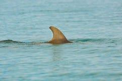 海豚飞翅在海洋 图库摄影