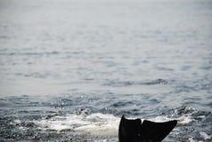 海豚飞翅 图库摄影