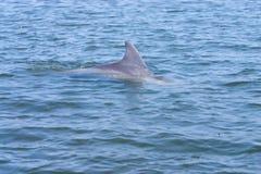 海豚飞翅 库存图片
