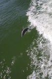 海豚飞跃 免版税库存图片