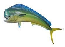 海豚鱼,被隔绝 免版税库存照片