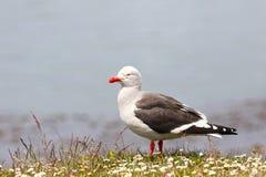 海豚鸥或站立在野花领域的红开帐单的鸥 乌斯怀亚,智利 免版税库存照片