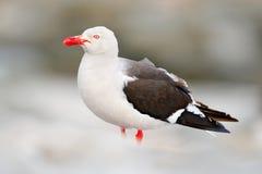 海豚鸥,鸥属scoresbii 鸥在水中 铺沙白色海滩鸟,坐棍子,有清楚的蓝色背景,福克兰 免版税库存照片