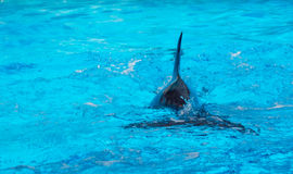 海豚鸭脚板  免版税库存照片