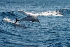 海豚,当跳跃在深蓝色海时 免版税库存图片