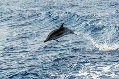 海豚,当跳跃在深蓝色海时 免版税图库摄影