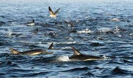 海豚,游泳在海洋和寻找鱼的小组 跳的海豚从水过来 长钩形的共同性d 免版税库存照片