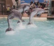 海豚:妈妈和2个儿子一个跃迁的在罗斯托夫dolphinarium 免版税库存照片