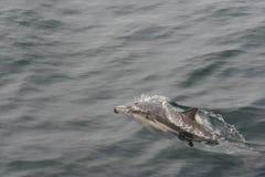 海豚(海豚座delphis) 免版税库存图片