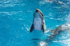 海豚画象,当看您时,当微笑时 库存图片