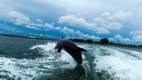 海豚@ Clearwater 免版税库存图片