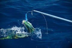 海豚mahi 免版税库存图片