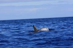 海豚risso s 库存照片