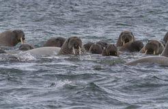 海象在水中在斯瓦尔巴特群岛 库存照片