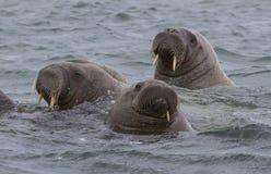 海象在水中在斯瓦尔巴特群岛 免版税库存图片