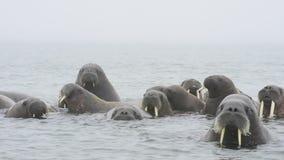 海象在水中 股票录像