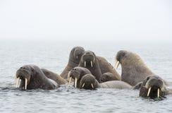 海象在水中 库存照片