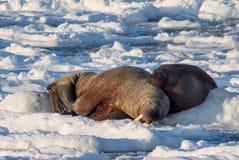 海象夫妇在冰-北极,卑尔根群岛的 免版税库存照片