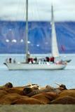 海象殖民地,海象属rosmarus,从大海在背景中非常突出在Pebble海滩,被弄脏的小船,游艇,有山的, Sva 图库摄影