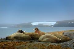 海象殖民地,海象属rosmarus,从大海非常突出在Pebble海滩,与雪的被弄脏的有雾的山在背景, Svalb中 库存图片
