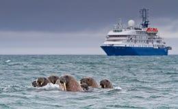 海象游泳 库存图片