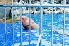 海象看起来哀伤在笼子 免版税库存照片