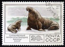 海象,大约1977年 免版税库存照片